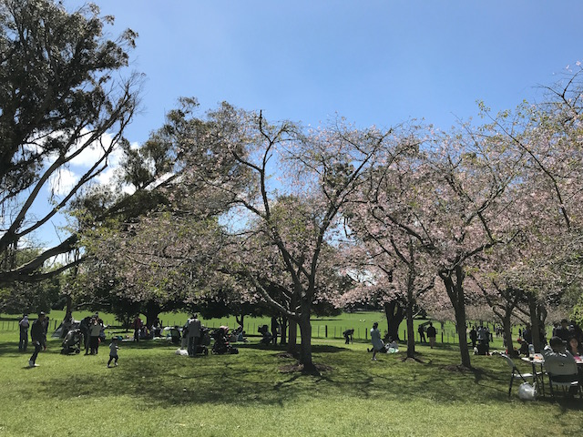 201710 cherryblossam viewing