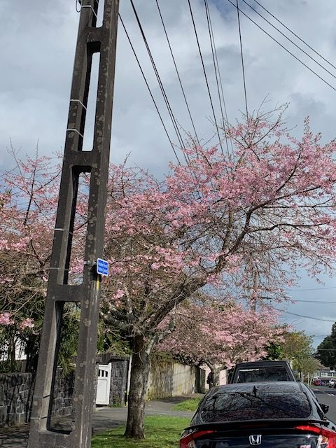 cherry blossom 201909 mt eden1