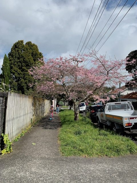cherry blossom 201909 mt eden2