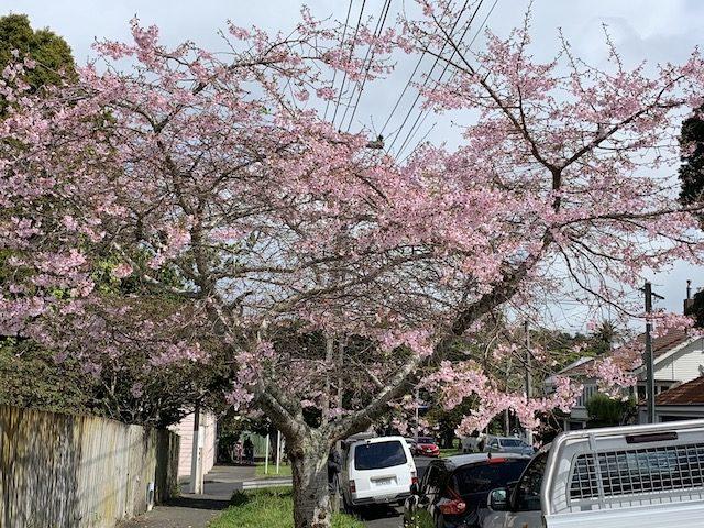 cherry blossom 201909 mt eden3