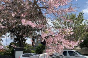 cherry blossom 201909 mt eden4