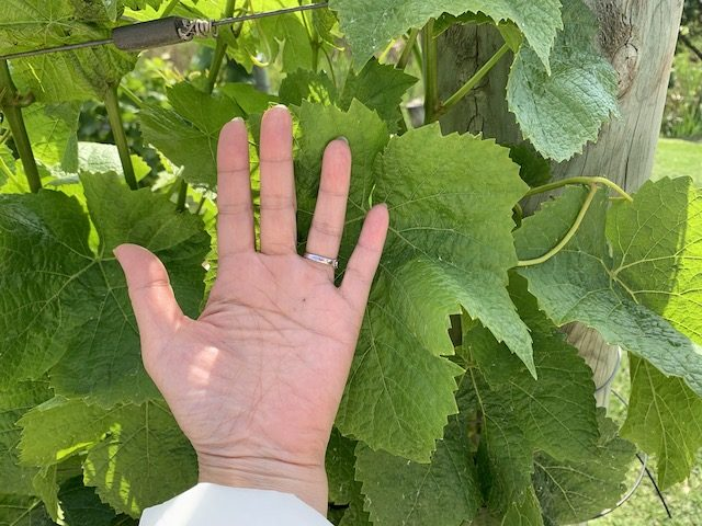 waiheke 201911 how large pinot gris