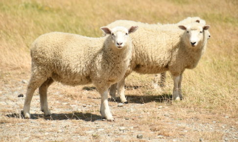 nz sheep 202002