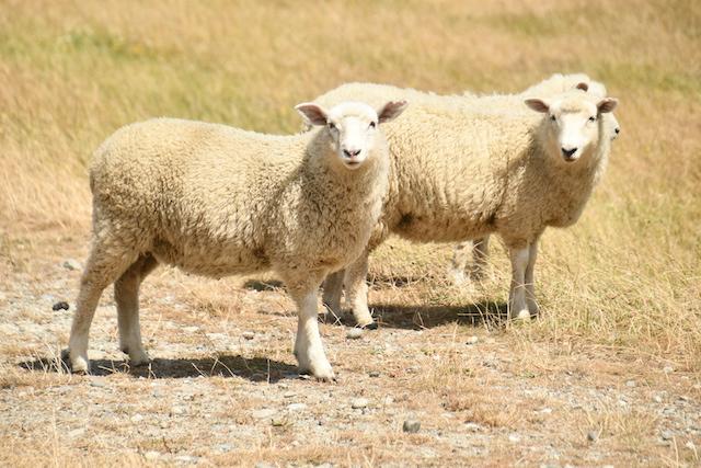 nz sheep 202002