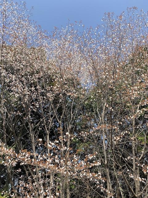 daneko illness 2020 cherry blossom