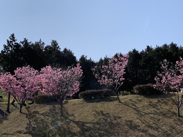 daneko illness 2020 cherry blossom3