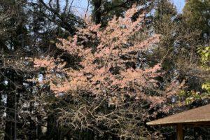 daneko illness 2020 cherry blossom4